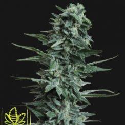 сорт марихуаны Кубанский Убийца