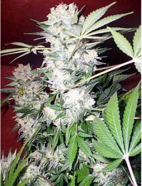 Медицинский сорт марихуаны в чем провозить марихуану