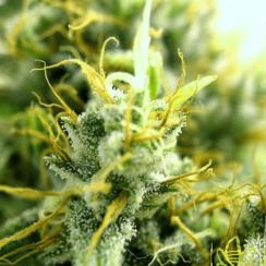 Сорт марихуаны АК-47