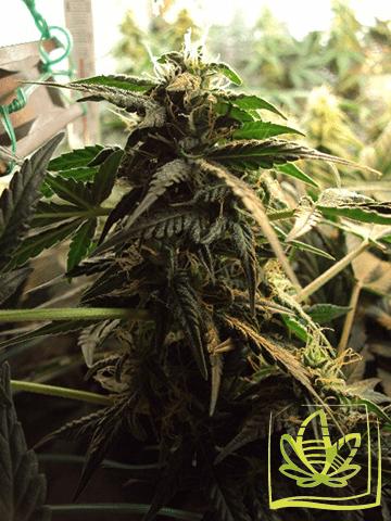 Сорт марихуаны Lowryder
