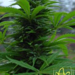 Сорт марихуаны Shaman