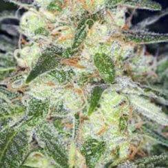 Afghan Original сорт марихуаны